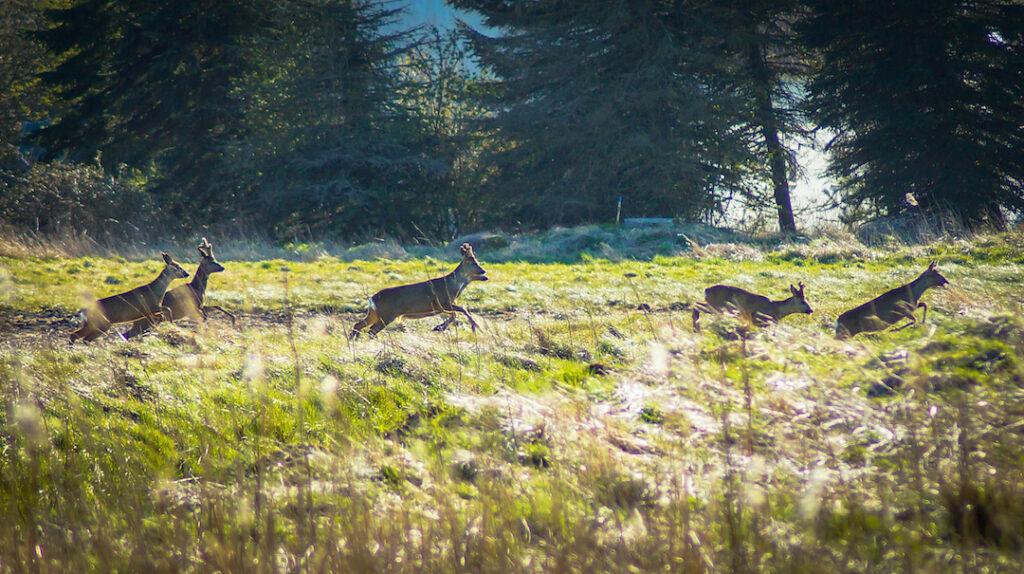 jagt rådyr råbuk buk bukkejagt rå