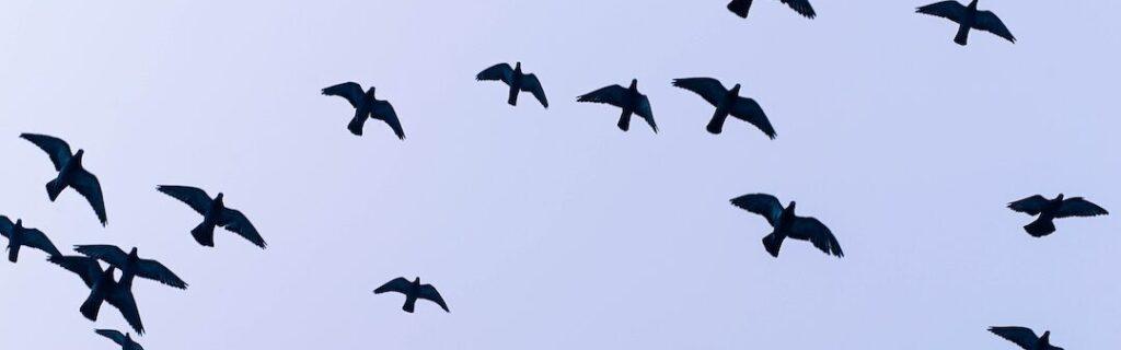 Rågeregulering råger rågeunger fugleflugt rågekoloni