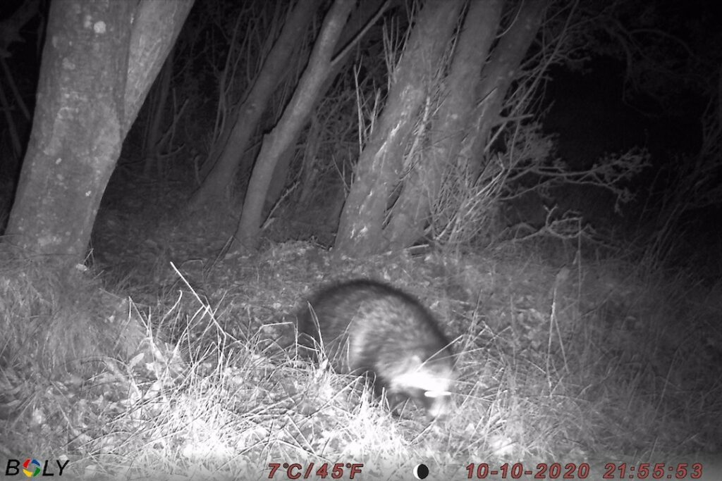 Mårhund invasiv art jagt jagttid regulering